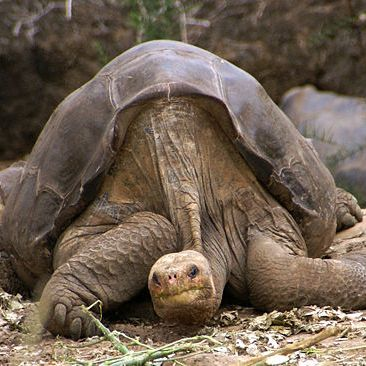 Lonesome George died alone on June 24, 2012, the last of his kind. Photo by Putneymark on Flickr.