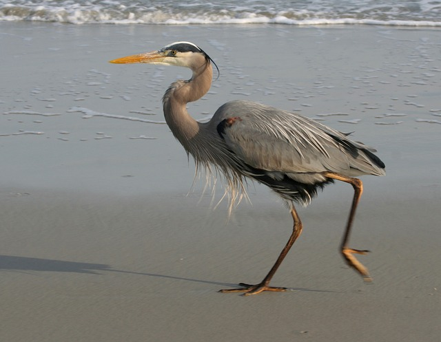 It's easy to spot blue herons on Hilton Head Island's beaches.