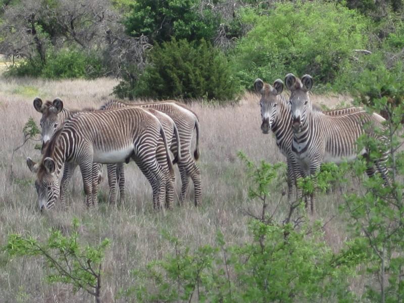Texan zebras