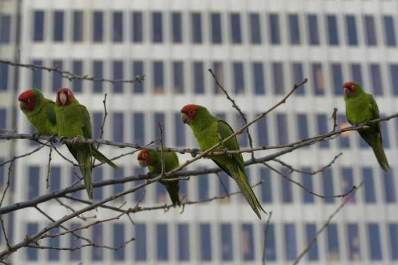 Telegraph Hill parrots