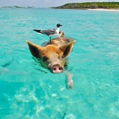 Swimming pigs in the Bahamas