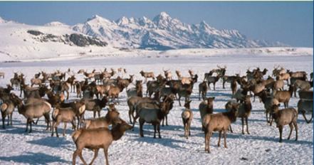Wapiti_on_the_National_Elk_Refuge